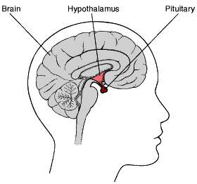 Pituary Gland Function