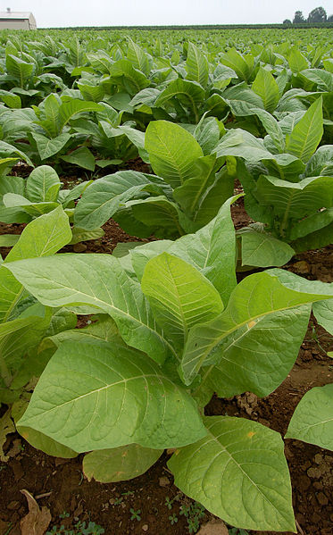 Young tobacco plants.