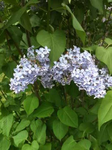 My backyard is lined with 3 or 4 Lilac Trees, all various in color. Lilacs are my absolute favorite! Both delicate flower and aroma are a wonderful sign that spring has sprung.