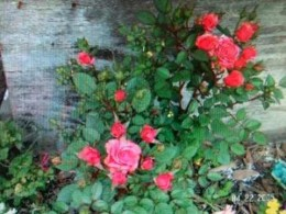 Under both the front and back house windows were these dainty, yet extremely hearty, Miniature Rose Bush variations. The front are a bright fuscia that bloom from summer all the way to early winter!