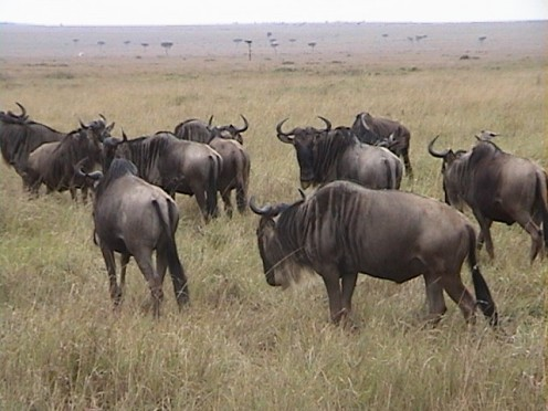 Wildabeest on Migration in Masai Mara