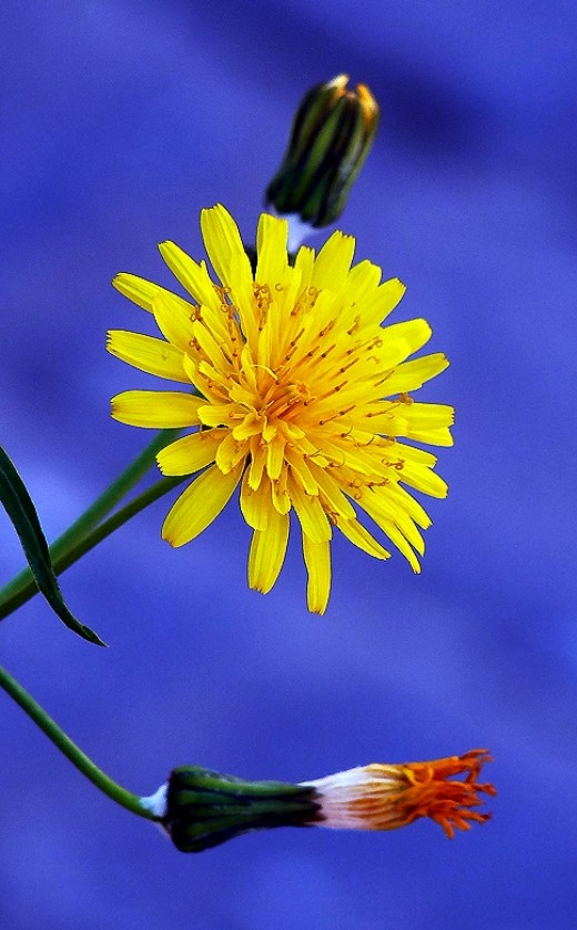 Dandelion on the waste land