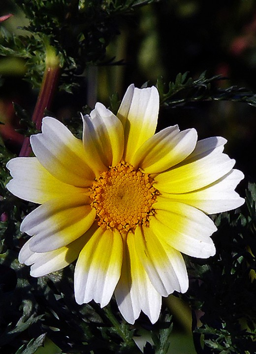 Large Daisy like flower