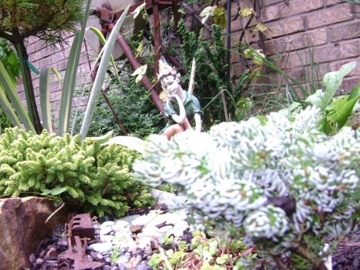 Left Skylands, Tom Thumb - Right Skylands, Icebreaker  -  two very slow growers a wonderful plant to enjoyn