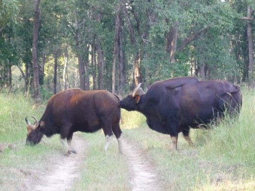 Bisons at pench