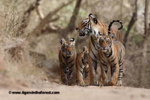 Tigress and cubs - Family