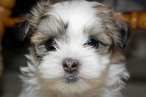 Maltese-Shihtzu Puppy