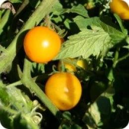 Egg yolk cherry tomato