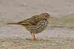 Meadow Pipit.  Dark markings like a thrush