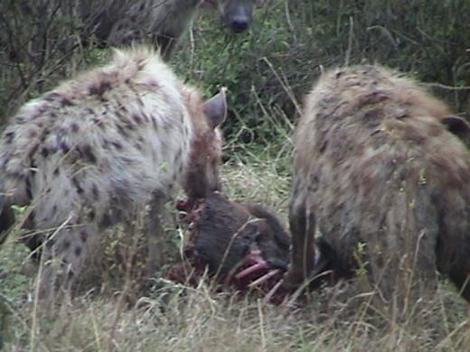 Spotted Heyenas eating Zebra Kill