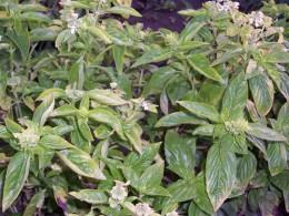 Basil (Ocymum minimum)