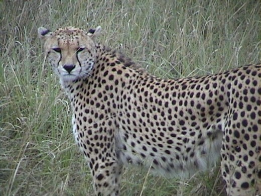 Cheetah on the Mara