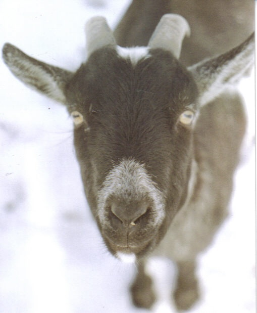 The Goat, Named Petie