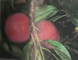 growing Soil - Healthy Fruits