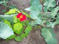 Nasturtiums planted    with Broccoli