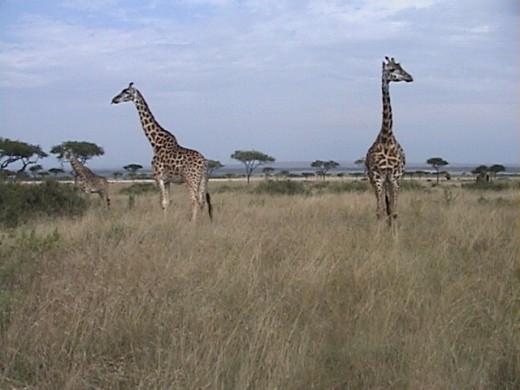Giraffe on the Mara