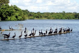 Close up of cormorants on a wall of a submerged island.  The lake was very high at the time.