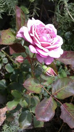 Roses for fragrant gardens