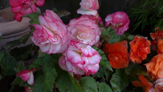 Begonias for bold color