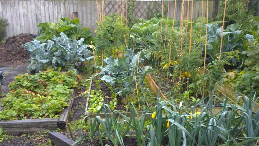 Vegetables growing in their beds