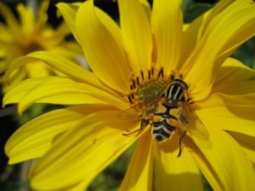 Honeybee collecting nectar