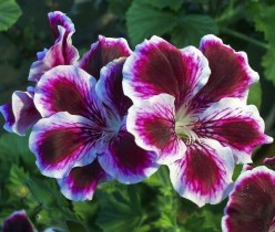 How to Grow Great Geraniums