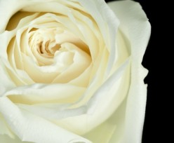 White Roses for You Mommy: Poem