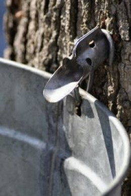 A spile and bucket collect the sap as it flows from the tree