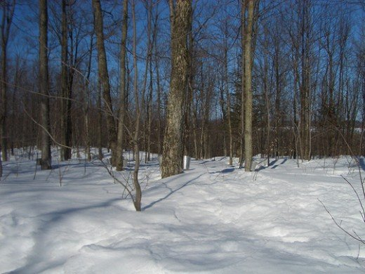 A sugar bush in full production.  You will require about 40 quarts of sap to make 1 quart of syrup