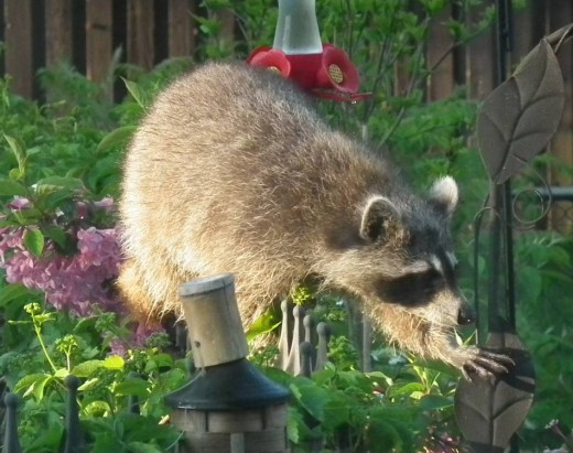 Raccoons are attracted to the sugar-water in the Hummingbird Feeder