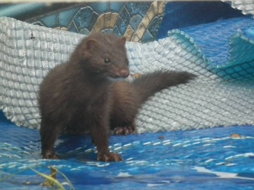 A Mink on the Swimming Pool Solar Cover