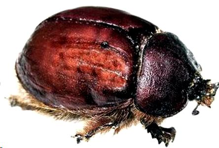 Cochineal (female)