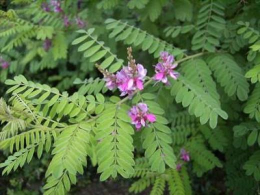 Indigofera Tinctoria leaves