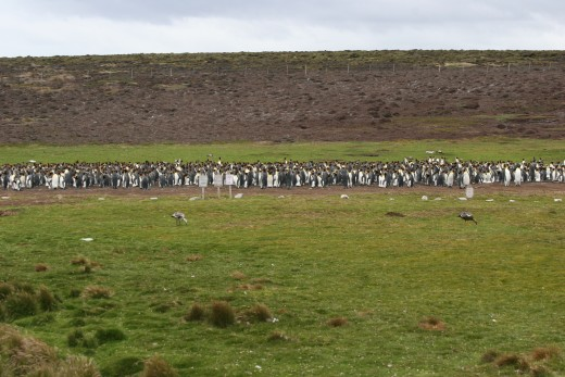 Group shot of King Penguin Colony at Volunteer Point in Falkland Islands