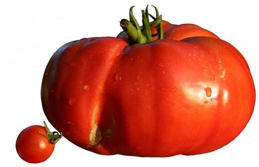 A beefsteak tomato in comparison to a cherry tomato. This large heirloom variety was popular before new hybrids were created that had a smoother appearance.
