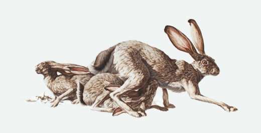 A pair of jackrabbits, actually a kind of hare. Note their long back legs and tall ears.