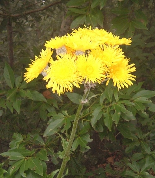 Canary Island Sowthistle (Sonchus) flowers. Photo by Steve Andrews