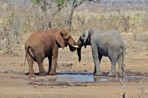 TWO ELEPHANTS ARE SHOWN SEALING A FRIENDSHIP PACT TO BE FRIENDS FOR LIFE. AND WITH THEIR EXCEPTIONALLY-SHARP MEMORIES, THEY WILL NOT FORGET EACH OTHER IN YEARS TO COME.