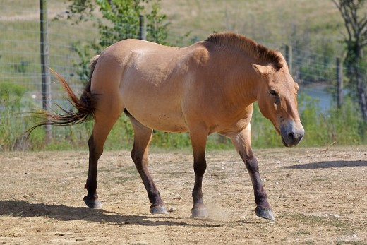 Przewalski's Horse - the last truly wild horse of Equus callabus