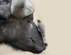 WATER BUFFALO AND TAYLOR BIRD. UNUSUAL CREATURES AND YET CLOSE FRIENDS. GOOD WORK, GOD.