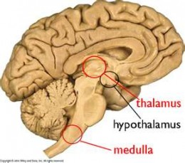 Raphe nuclei is located at the base of the brain stem prior to the thalamus and hypothalamus.