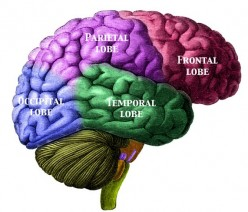 Right side of brain from Manuel de L'Anatomiste Morel and Duval 1883
