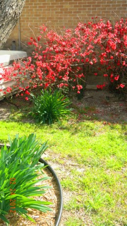 February, 2012  -  My japonica bush blooming outside kitchen window