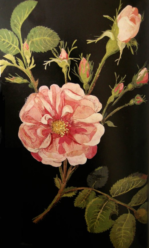 Rosa gallica, Cluster Damask Rose 1780