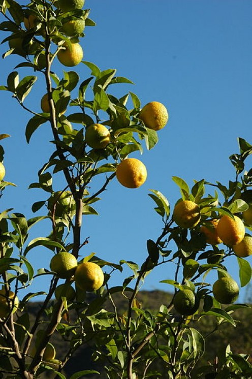 Lemon trees are one of the most useful plants to have in the garden.