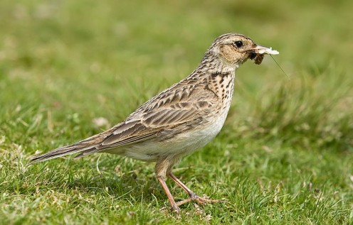 A skylark (Alauda arvensis, sex unknown) with insects in its beak, taken by myself in the Lake District near Derwent Water, in Cumbria, England.