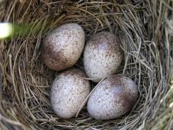 Skylark eggs