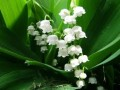 Growing Tips for Lily Of The Valley