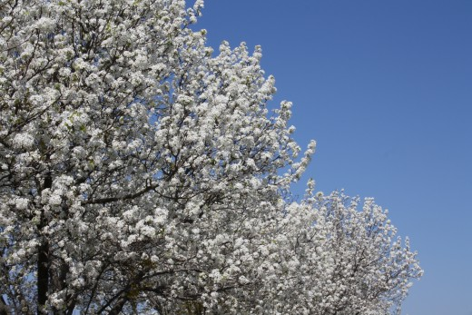 Spring is almost here!  The trees are looking beautiful!