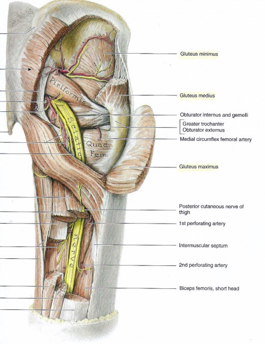 The 3 major muscles of the buttocks exposed